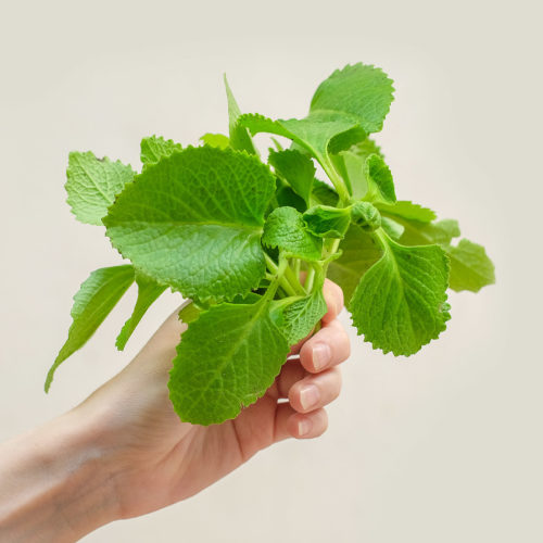 """Oregano kubánské (lat. Plectranthus amboinicus) - Asijské bylinky """"ZÁSADNĚ"""" ZDRAVĚ"""