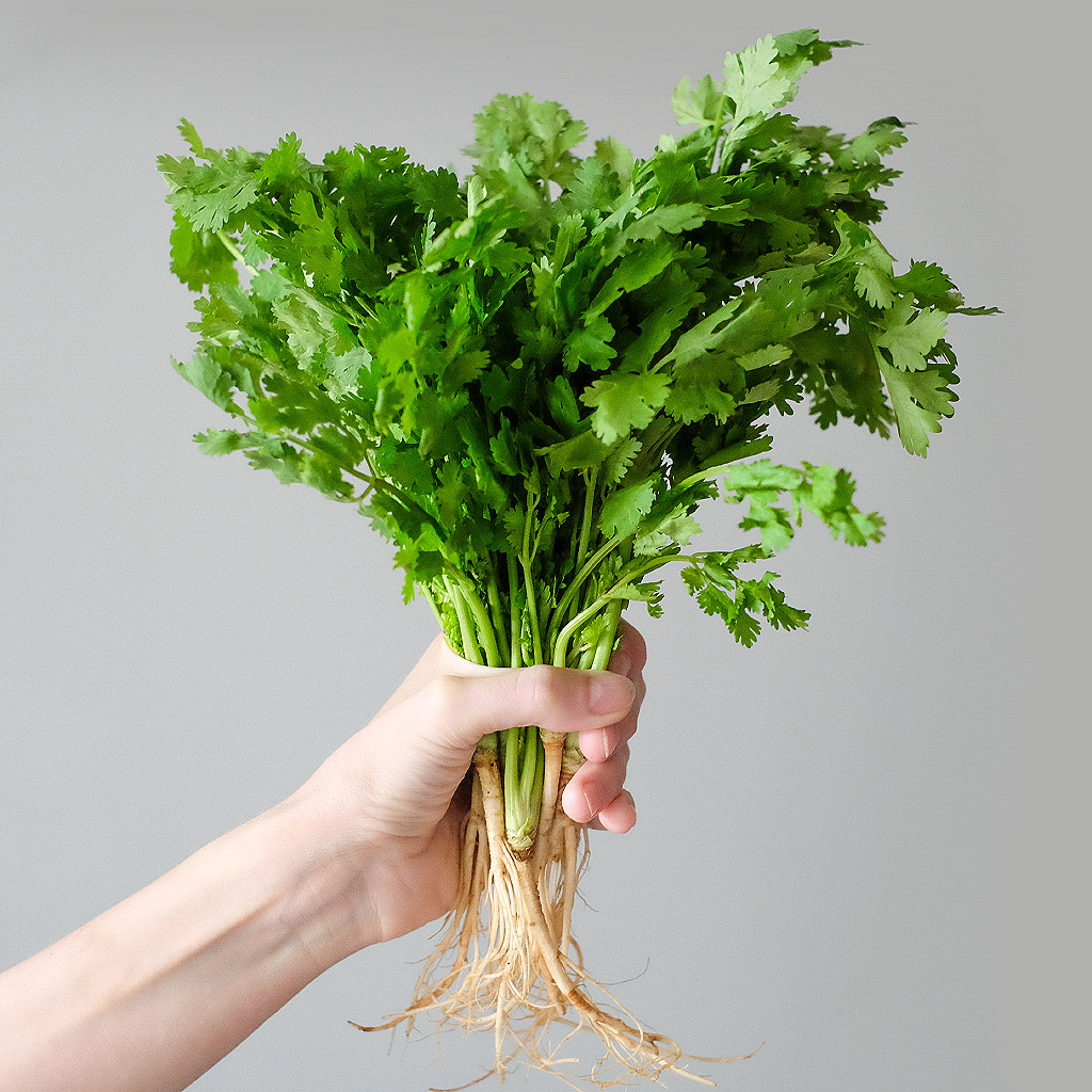 """Koriandr setý (lat. Coriandrum sativum) - Asijské bylinky """"ZÁSADNĚ"""" ZDRAVĚ"""
