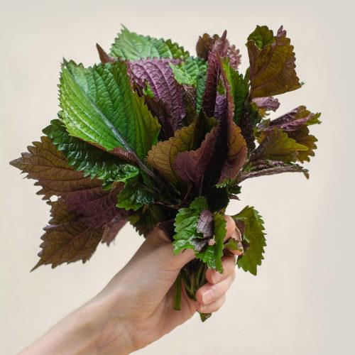 """Perila křovitá (lat. Perilla frutescens) - Asijské bylinky """"ZÁSADNĚ"""" ZDRAVĚ"""